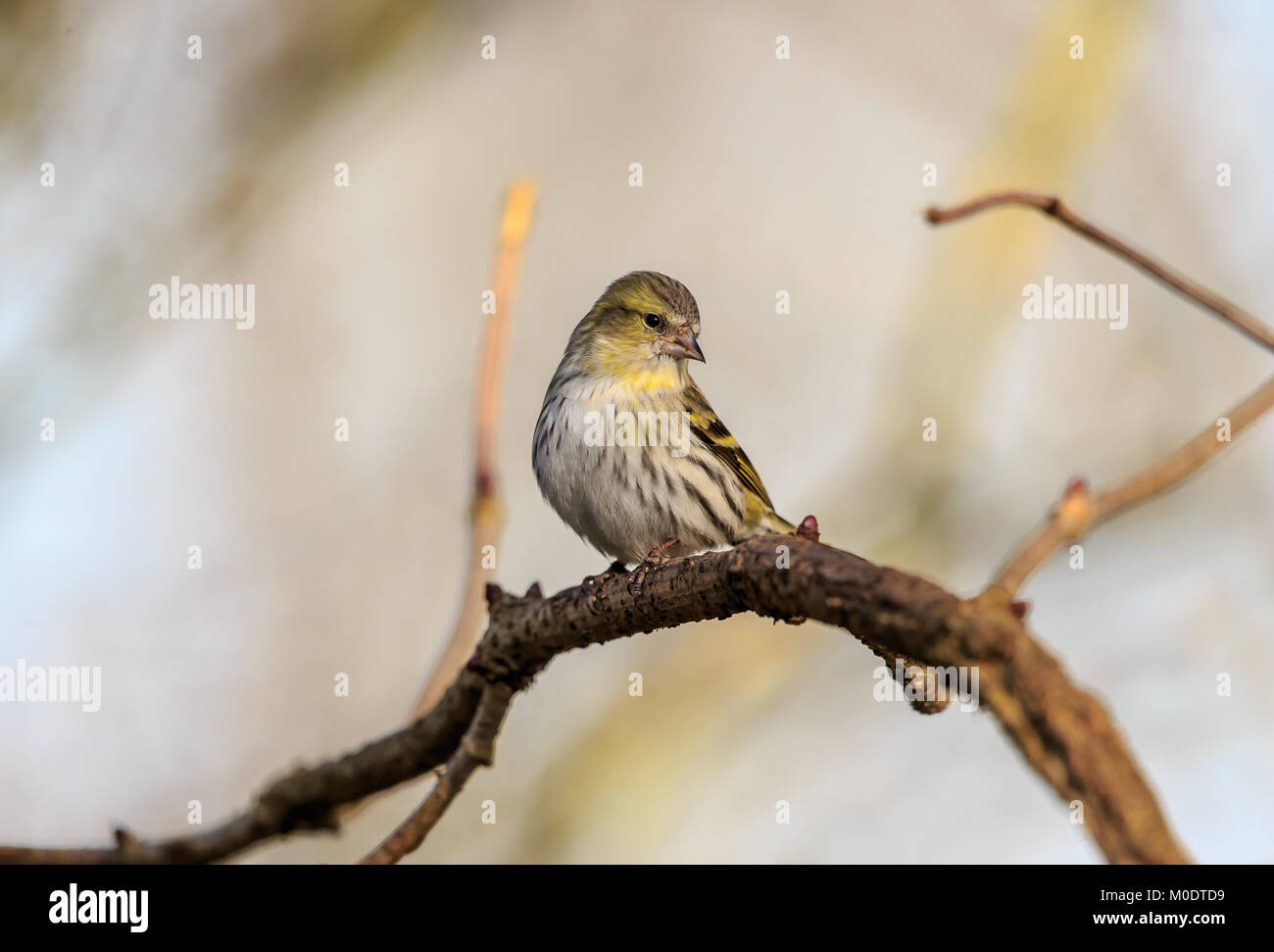 The Eurasian siskin is a small passerine bird in the finch family Fringillidae. It is also called the European siskin, - Stock Image