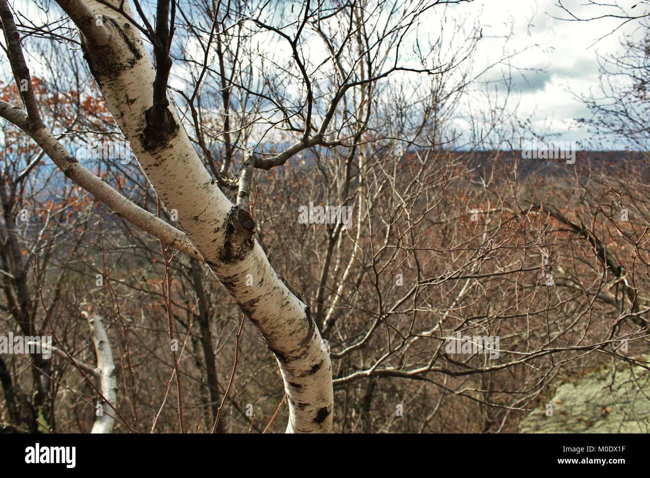 White birch tree. - Stock Image