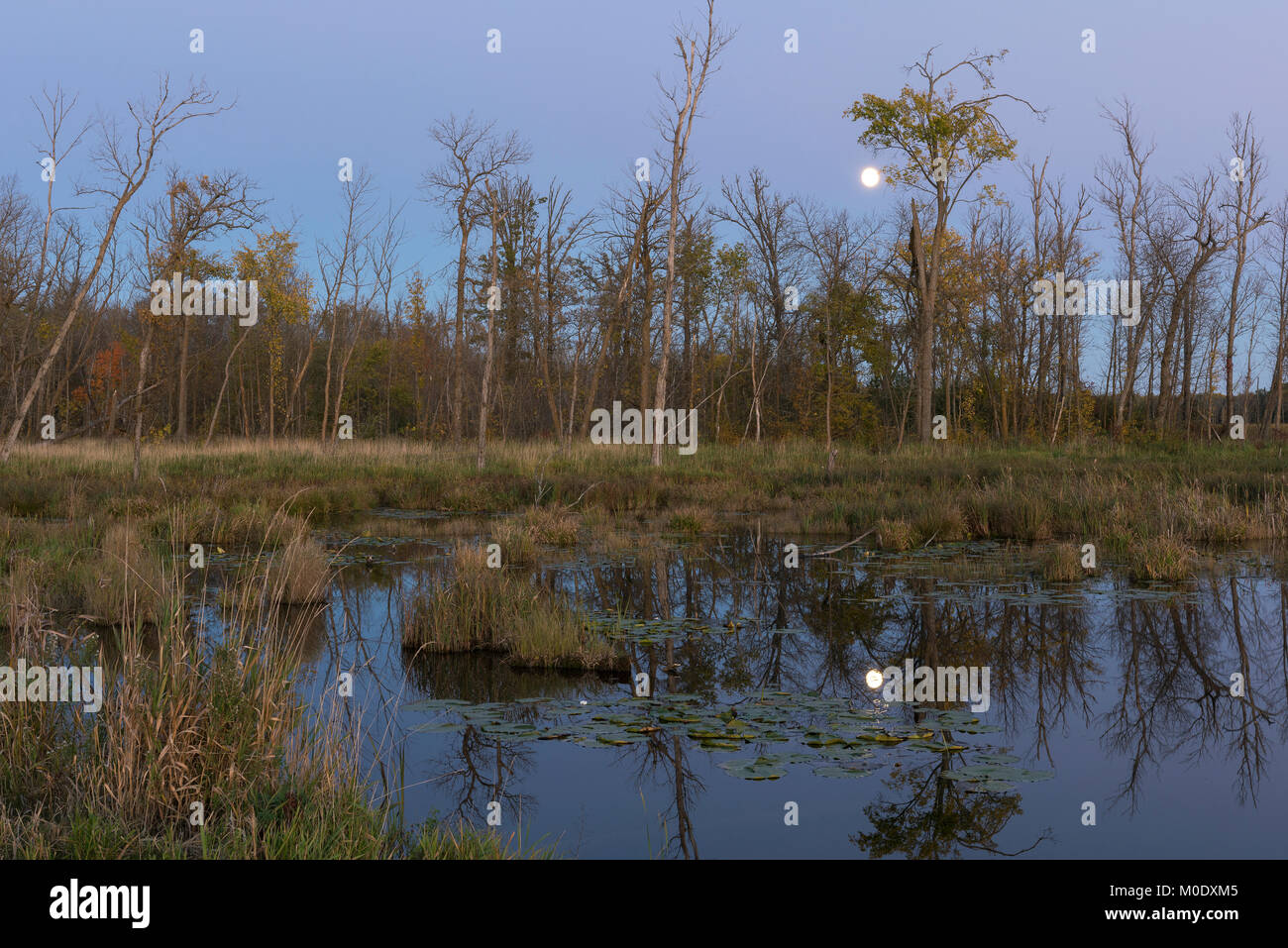Full Moon, wetland. Tamarac NWR near Detroit Lakes, MN, USA, early Ocotober, by Dominique Braud/Dembinsky Photo - Stock Image