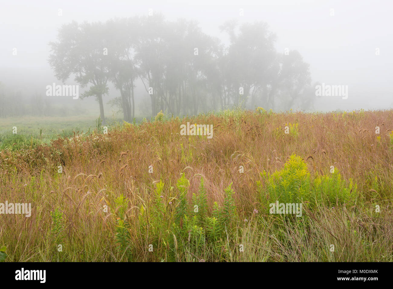 Fog, Prairie with grasses & goldenrods. Whitetail Woods Regional Pk, Dakota County, MN, USA August, by Dominique - Stock Image