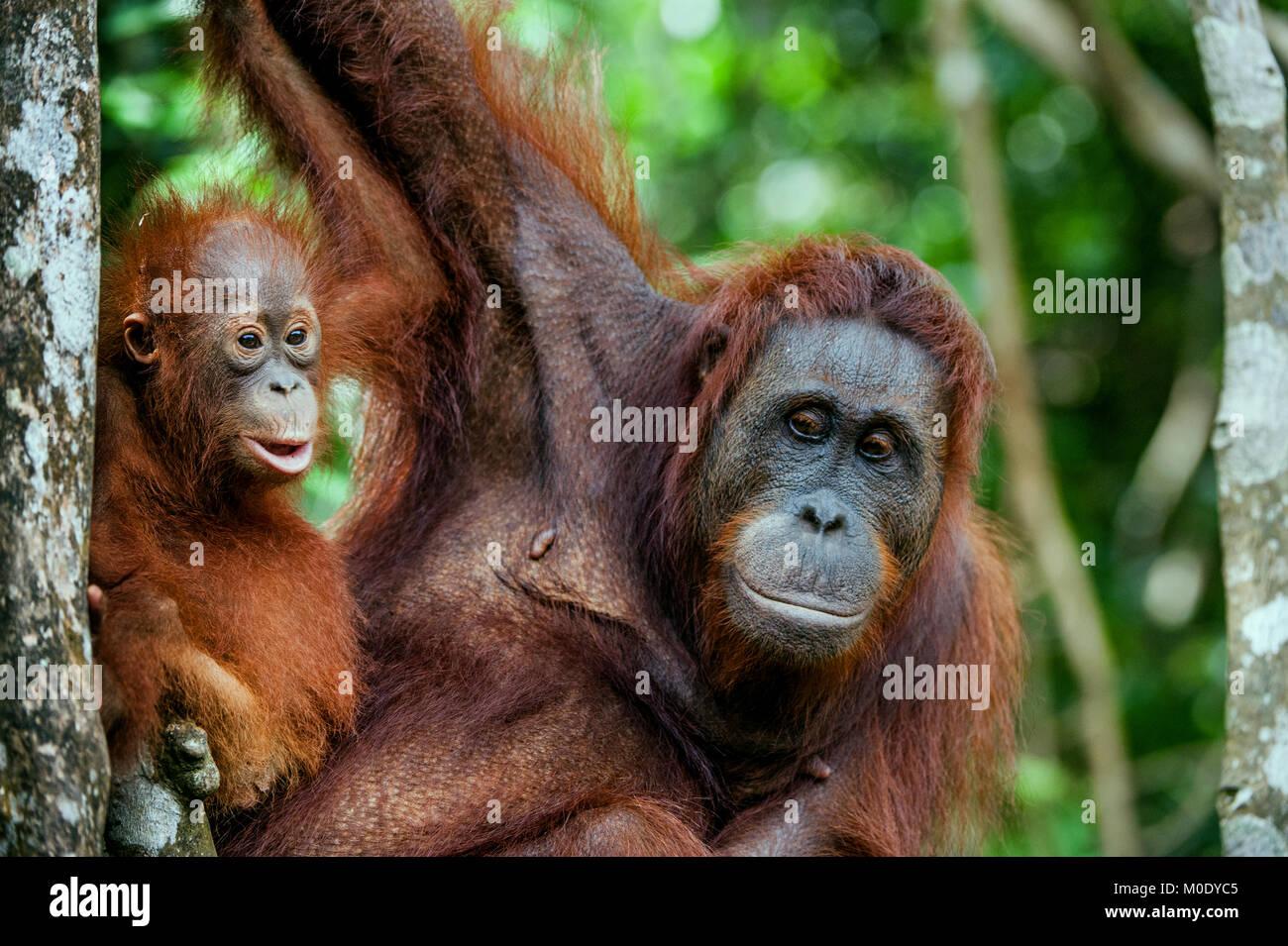 Mother orangutan and cub in a natural habitat. Bornean orangutan (Pongo pygmaeus wurmbii) in the wild nature. Rainforest - Stock Image