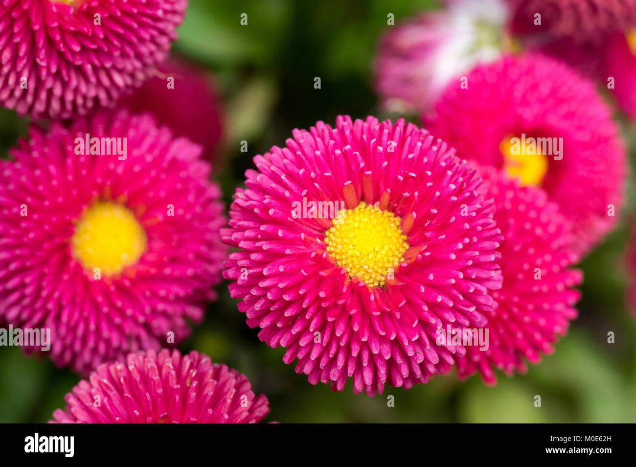 Pink English Daisy Red Pom Pom Flowers Stock Photo 172415785 Alamy