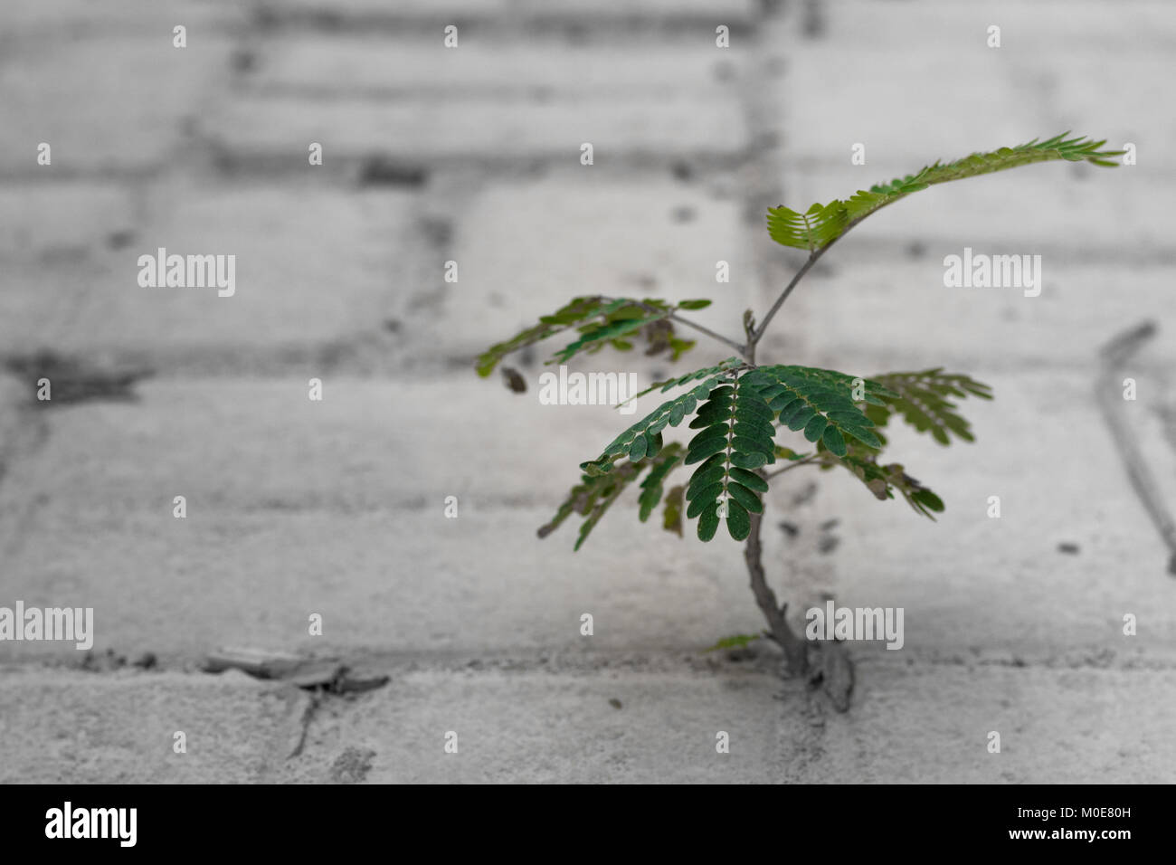A new tree shoots out from in between concrete bricks on the floor. A display of hardiness and resilience. - Stock Image