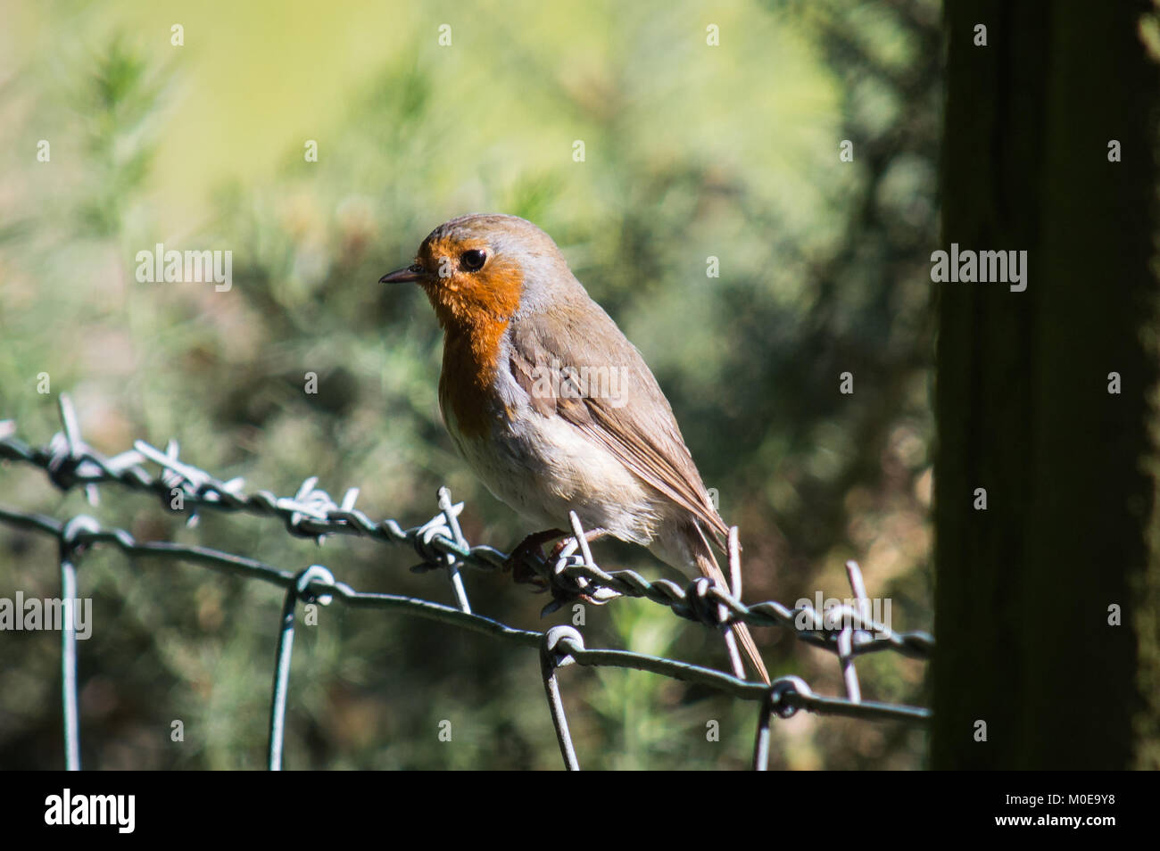 A robin on a wire fence - Stock Image