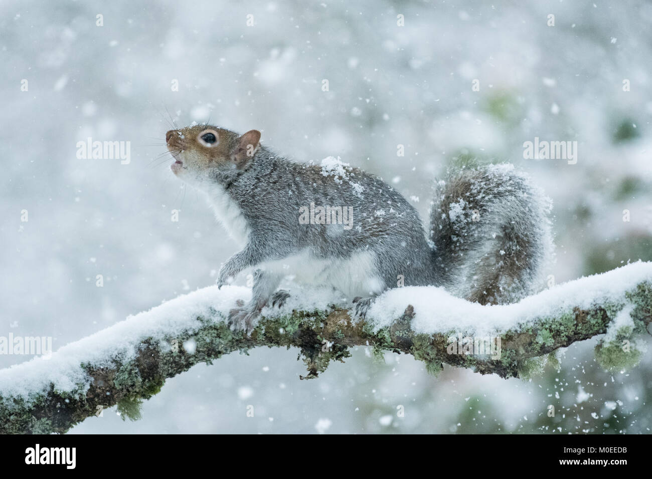 Killearn, Stirlingshire, Scotland, UK - 21 January 2018: UK weather - a grey squirrel looking for food during a - Stock Image