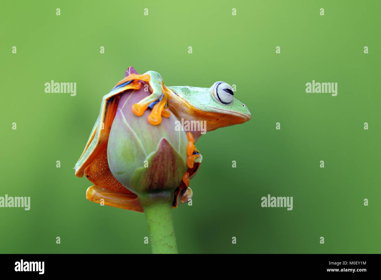 Flying tree frog on a flower bud - Stock Image