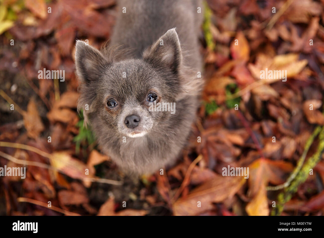 Overhead view of a longhaired Chihuahua dog standing in a autumn leaves Stock Photo