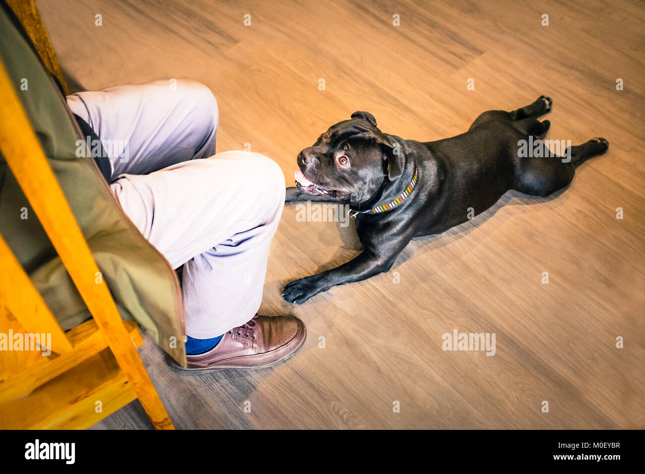 black staffordshire bull terrier dog lying down with his legs stretched out behing him on a wooden floor, he is - Stock Image