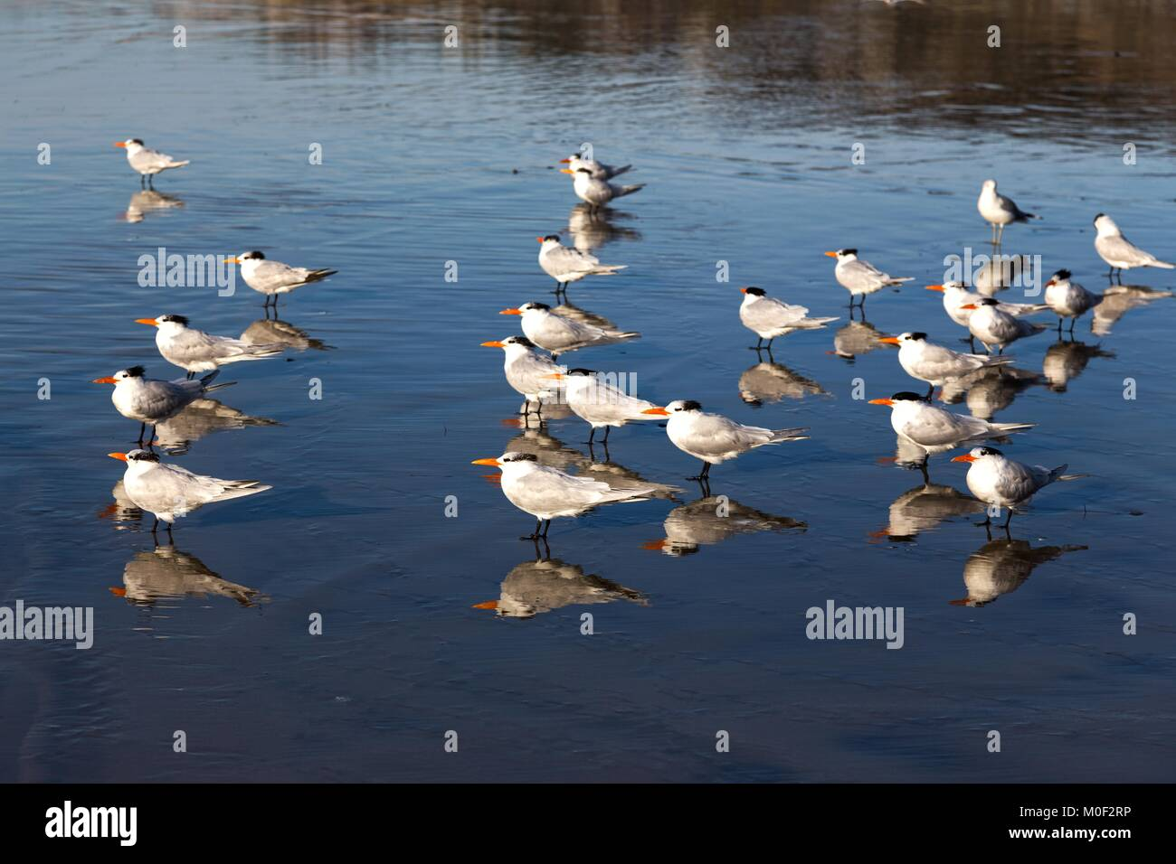 Flock of Seagull Birds Watching Low Tide on La Jolla Shores Pacific Ocean Beach at Scripps Institute of Oceanography, - Stock Image