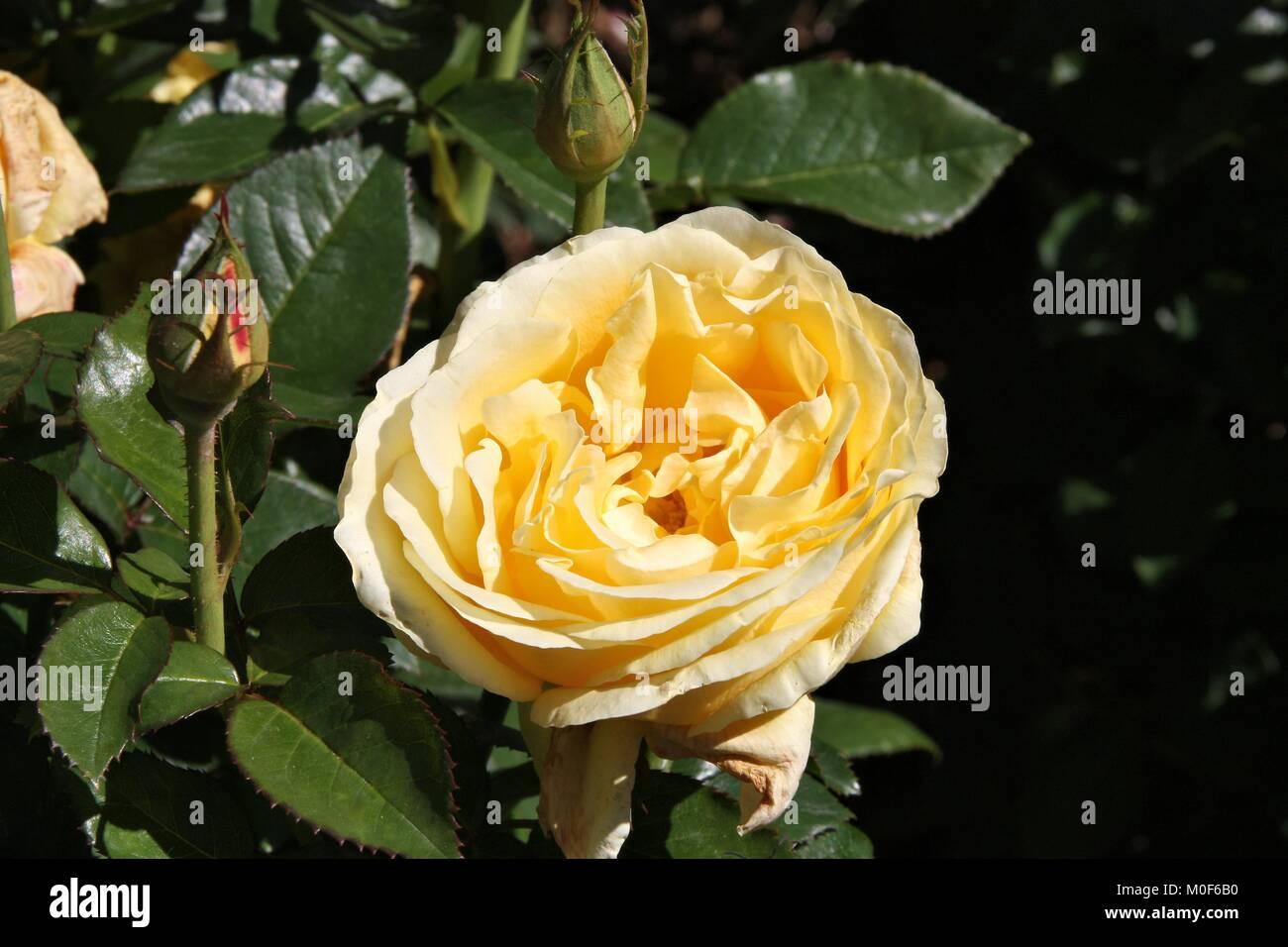 Rosa Glorious Interictira - hybrid tea rose variety at Christchurch Botanical Garden, New Zealand. - Stock Image