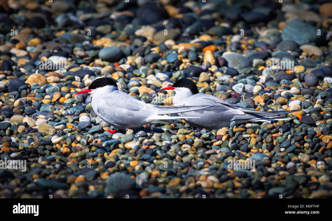 Arctic tern (Sterna paradisaea) is a tern in the family Laridae - Stock Image
