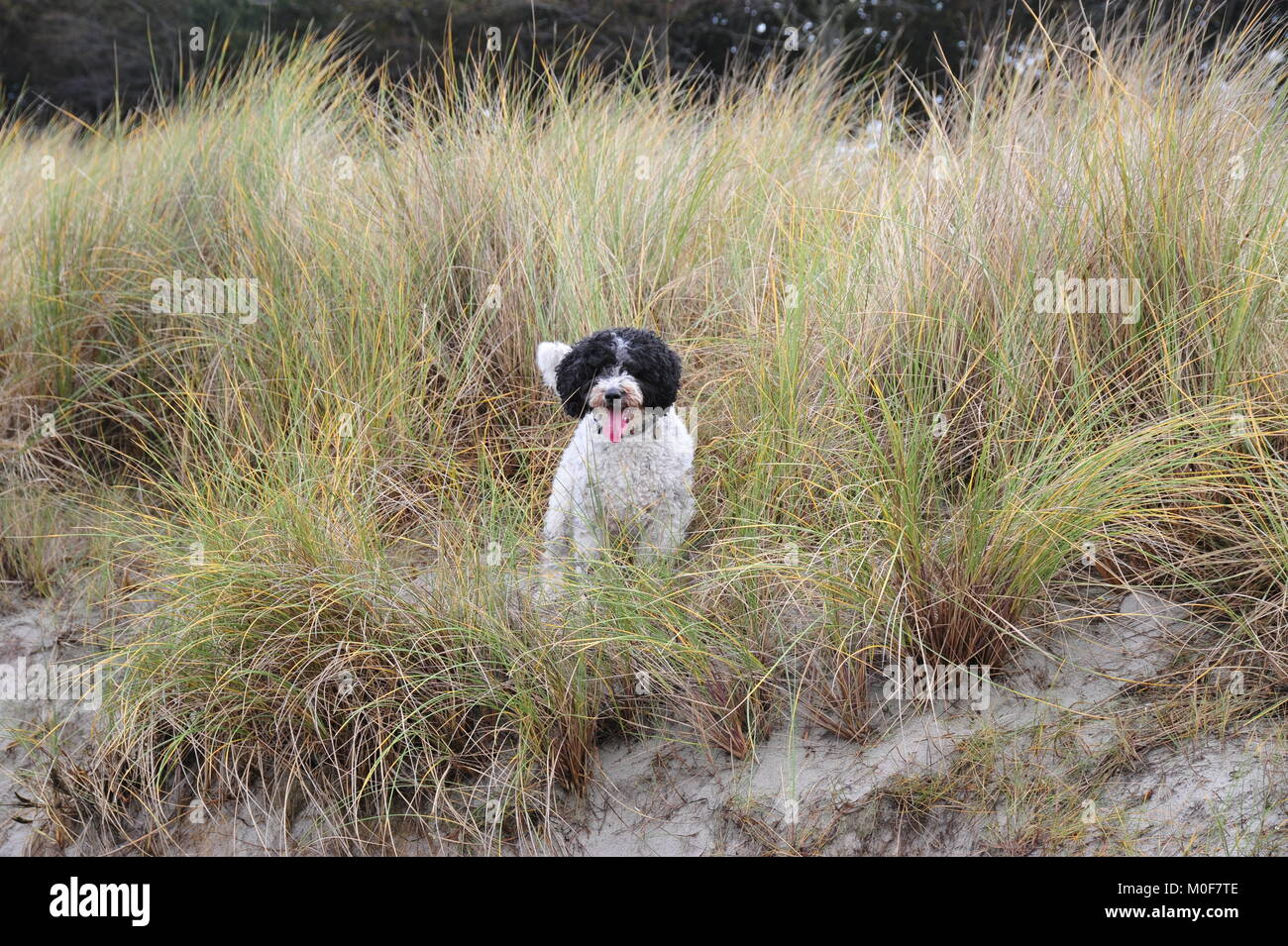 Spanish water dog likes to play in the dunes of the oceans. - Stock Image