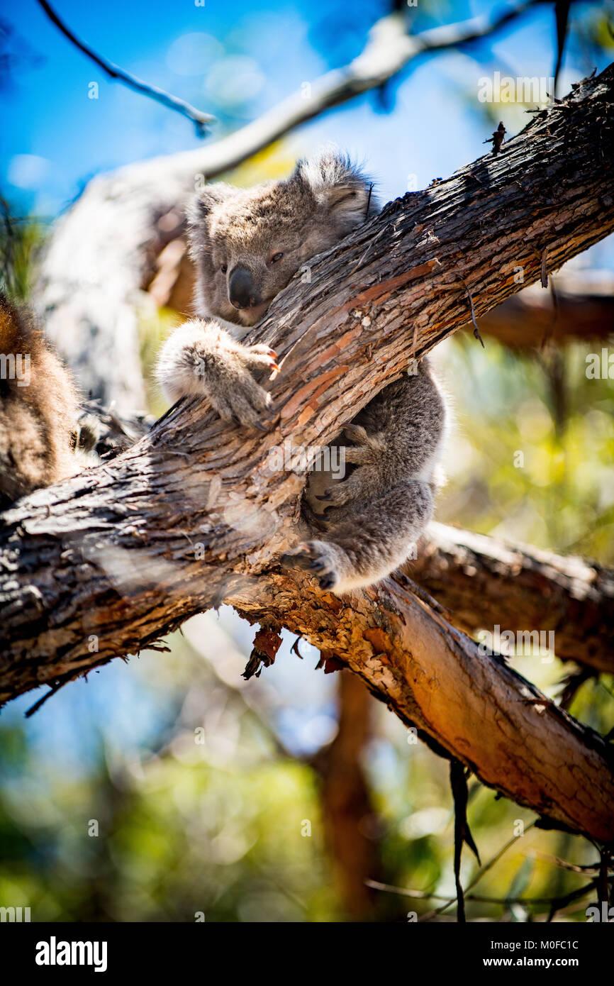 Koalas climbing and sleeping on eucalyptus trees on Australia's Raymond Island - Stock Image