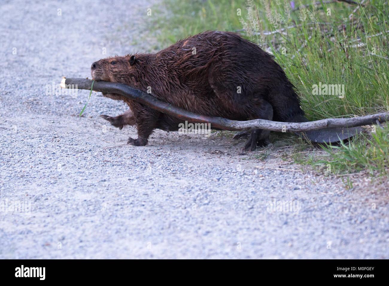Beaver (Castor canadensis) dragging Saskatoon berry tree (Amelanchier alnifolia) across pathway in city park back - Stock Image