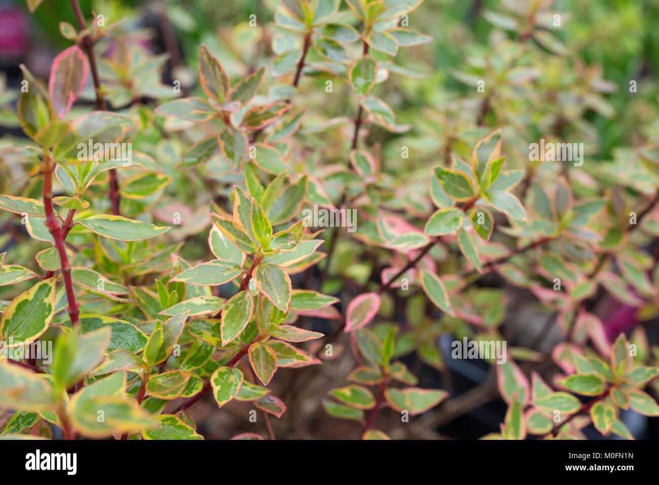Abelia X Grandiflora Sunshine Daydream Stock Photo 172449473 Alamy