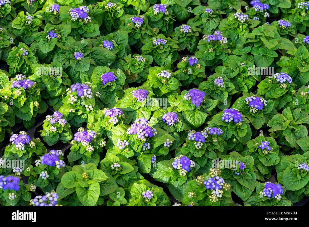 Spring flower seedlings, rows of potted plants in greenhouse. Natural green background - Stock Image