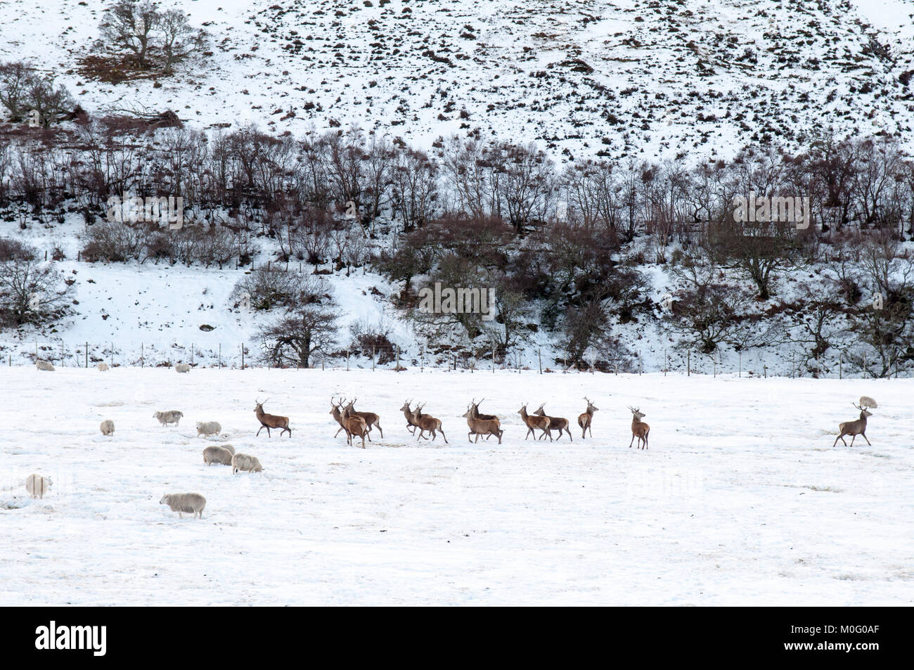 Sheep and deer graze in a farm field thick with winter snow in the Strath of Kildonan valley at Helmsdale in Sutherland - Stock Image