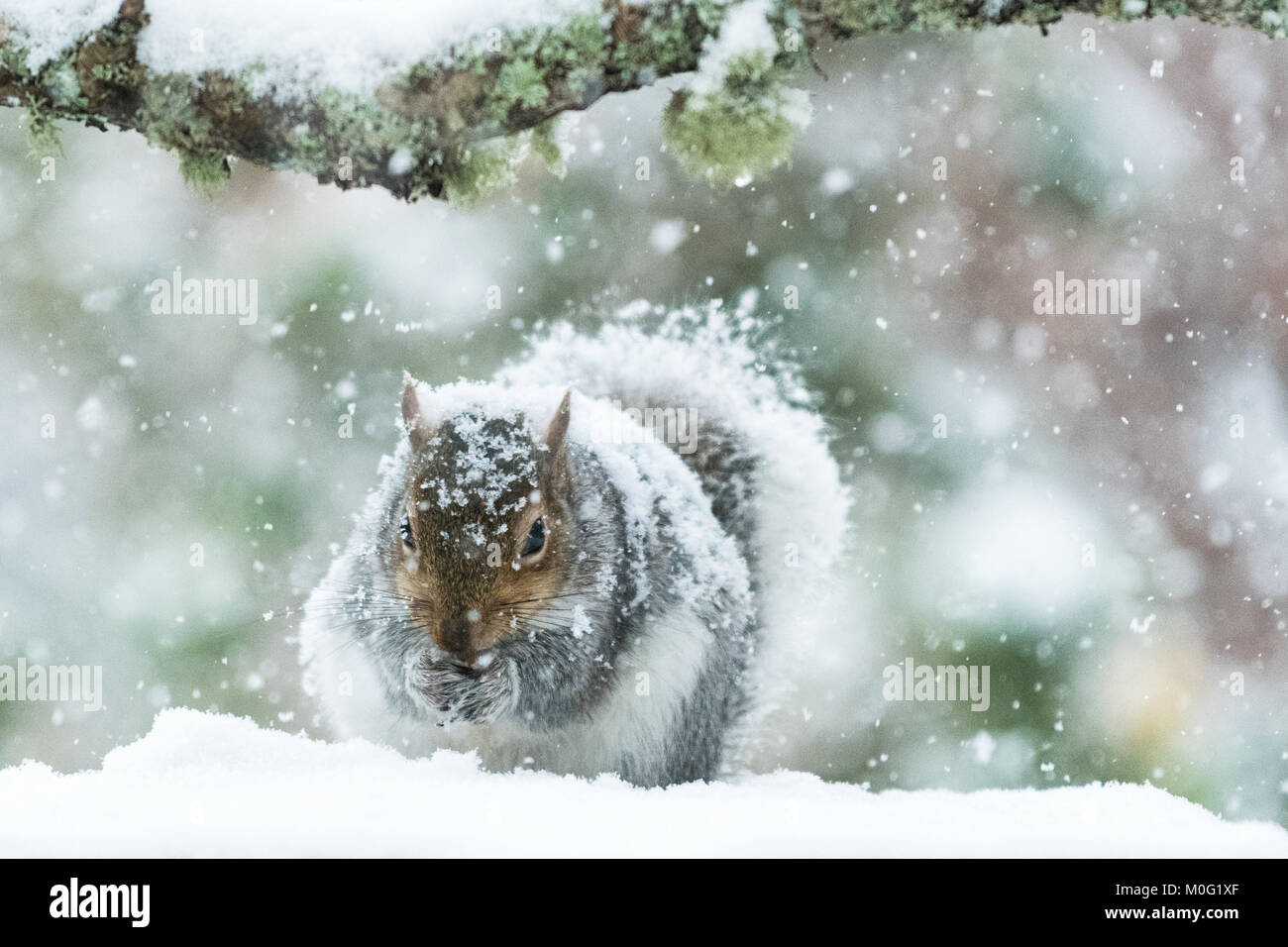 Grey Squirrel in UK in winter - covered in thick snow - Scotland, UK - Stock Image