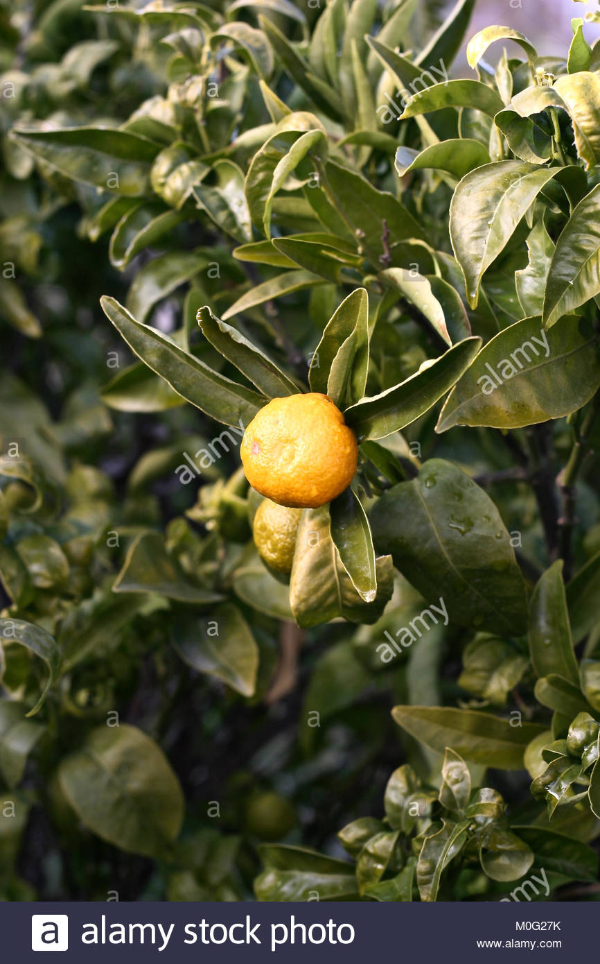 Mandarin growing in Andalucia, Spain - Stock Image