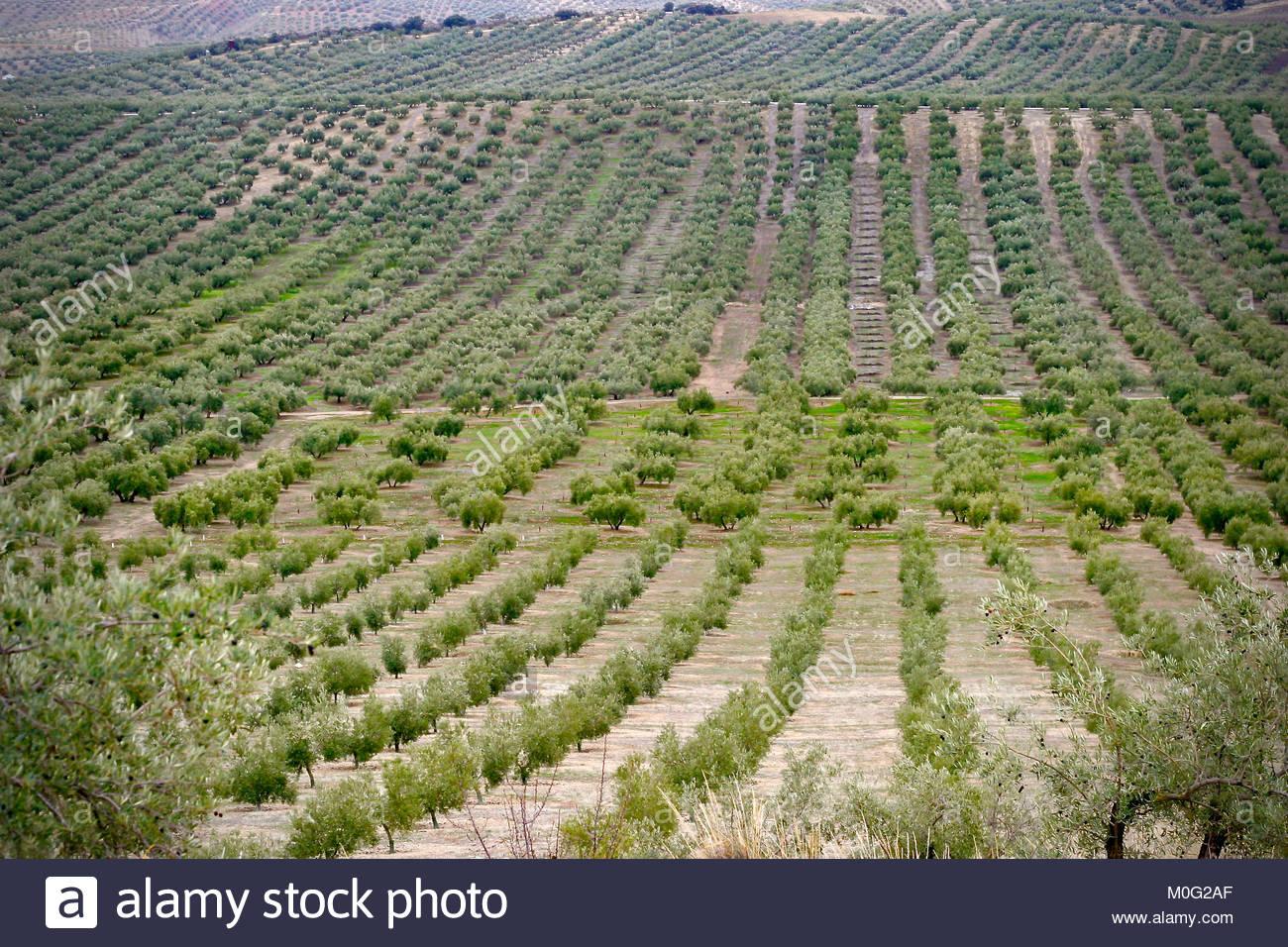 Olive groves in Priego de Cordoba, Andalucia, Spain - Stock Image