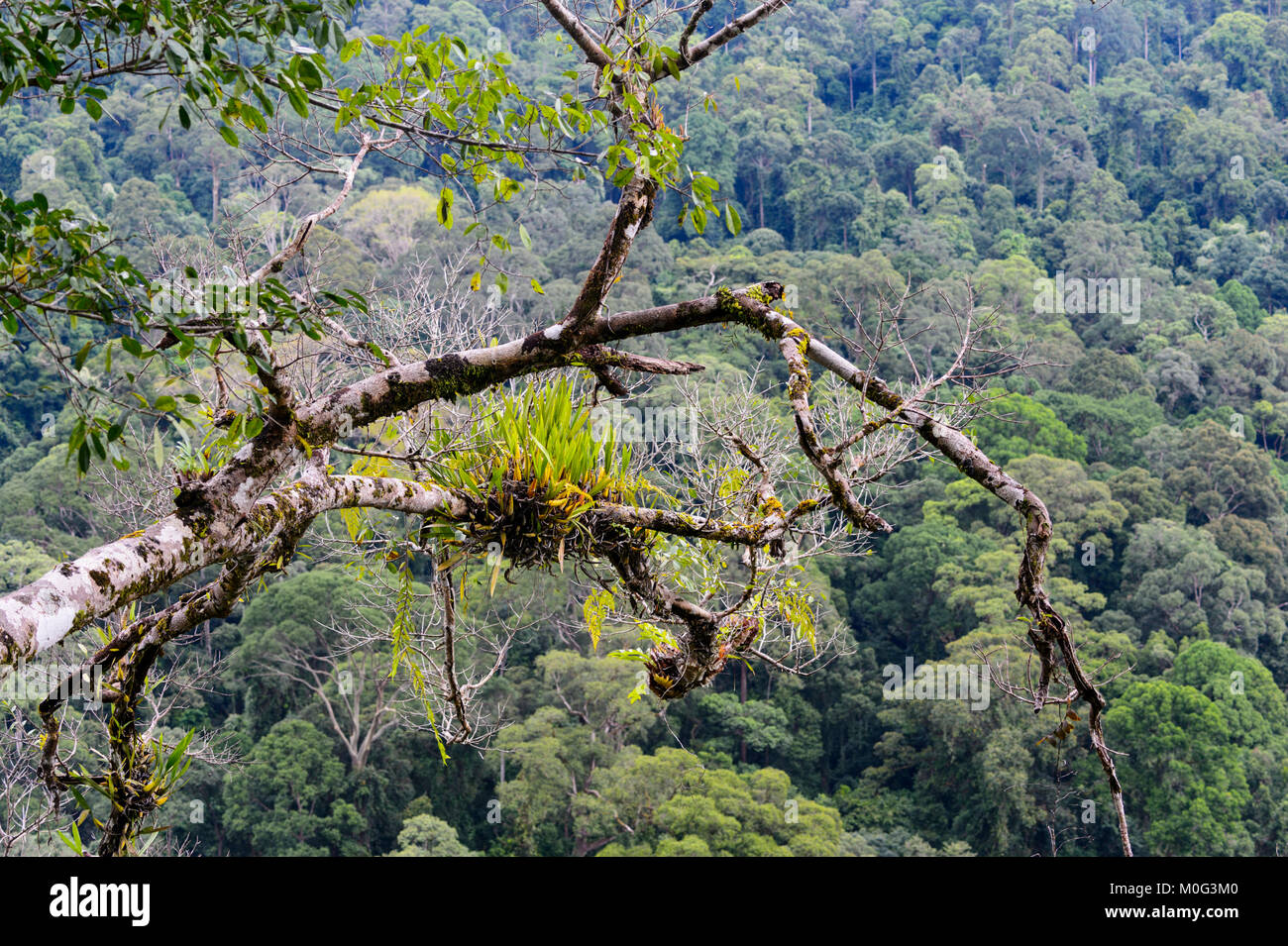 View over primary rainforest canopy, Danum Valley, Borneo, Sabah, Malaysia Stock Photo