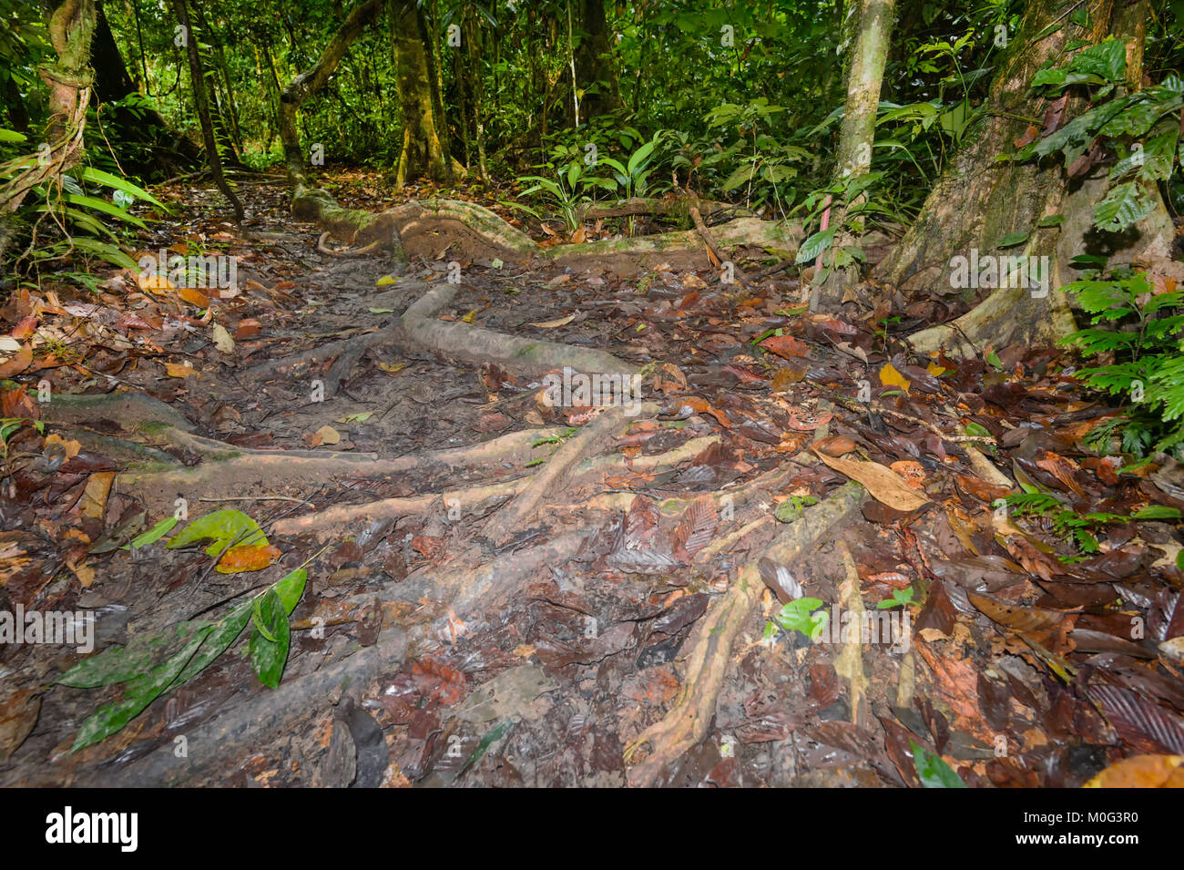 Exposed roots on the forest floor, Danum Valley Conservation Area, Borneo, Sabah, Malaysia - Stock Image