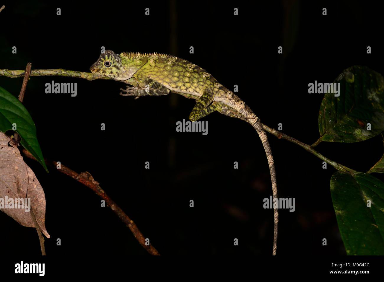 Bornean Angle-headed Dragon or Agamid lizard (Gonocephalus bornensis), Danum Valley Conservation Area, Borneo, Sabah, - Stock Image