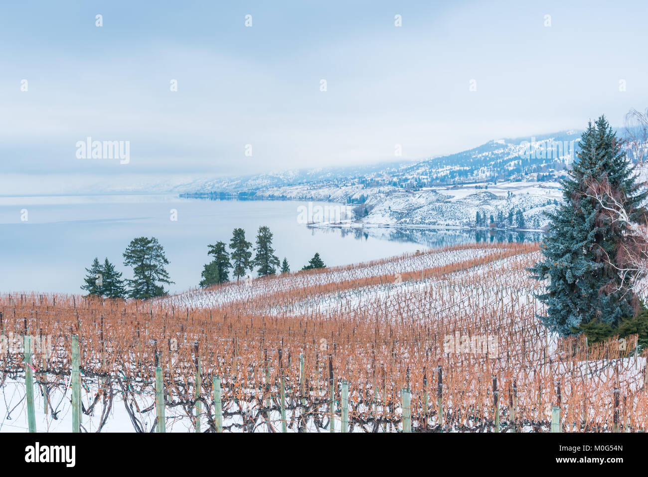 Rows of grapevines in snow covered vineyard with Okanagan Lake and mountains on foggy winter afternoon Stock Photo