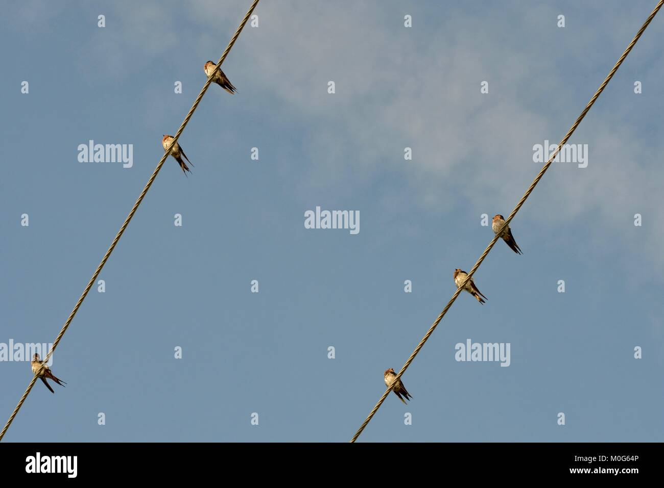 Welcome swallows (Hirundo neoxena) perched on power lines in the early morning, Townsville, Queensland, Australia - Stock Image