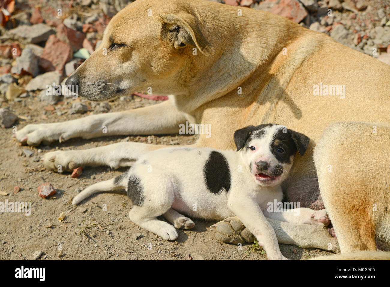 Cute puppy with mother - Stock Image