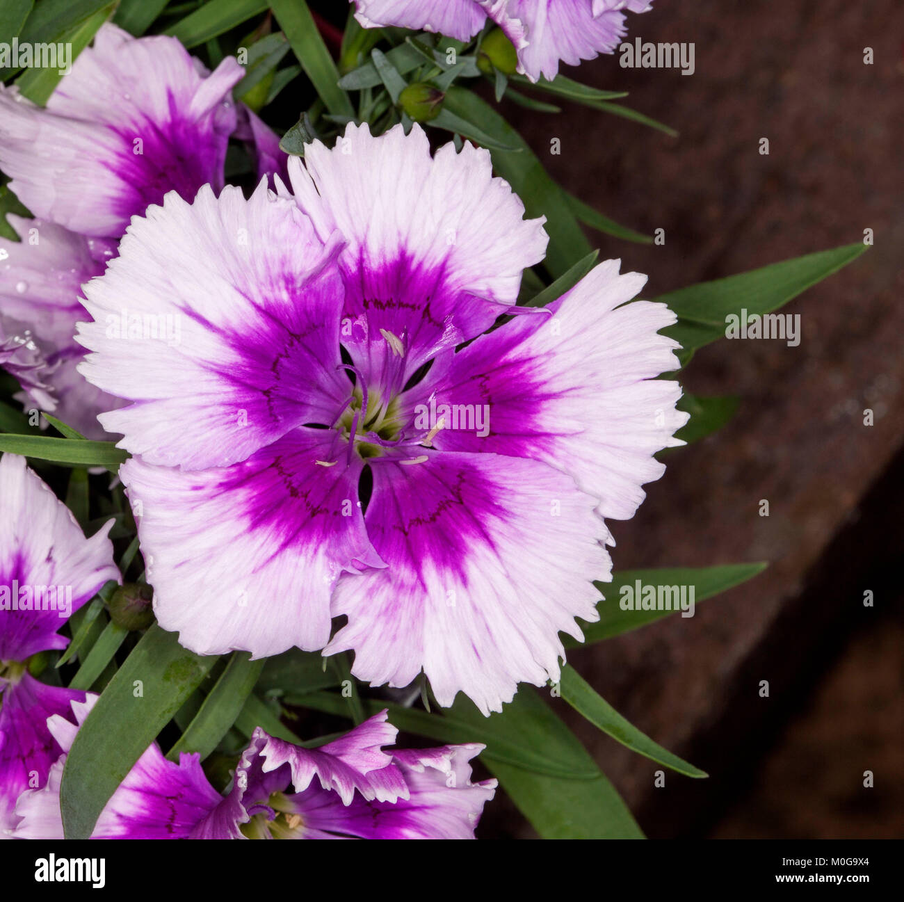 Unusual mauve and white flower and green leaves of  annual plant Dianthus barbatus, Sweet William, - Stock Image