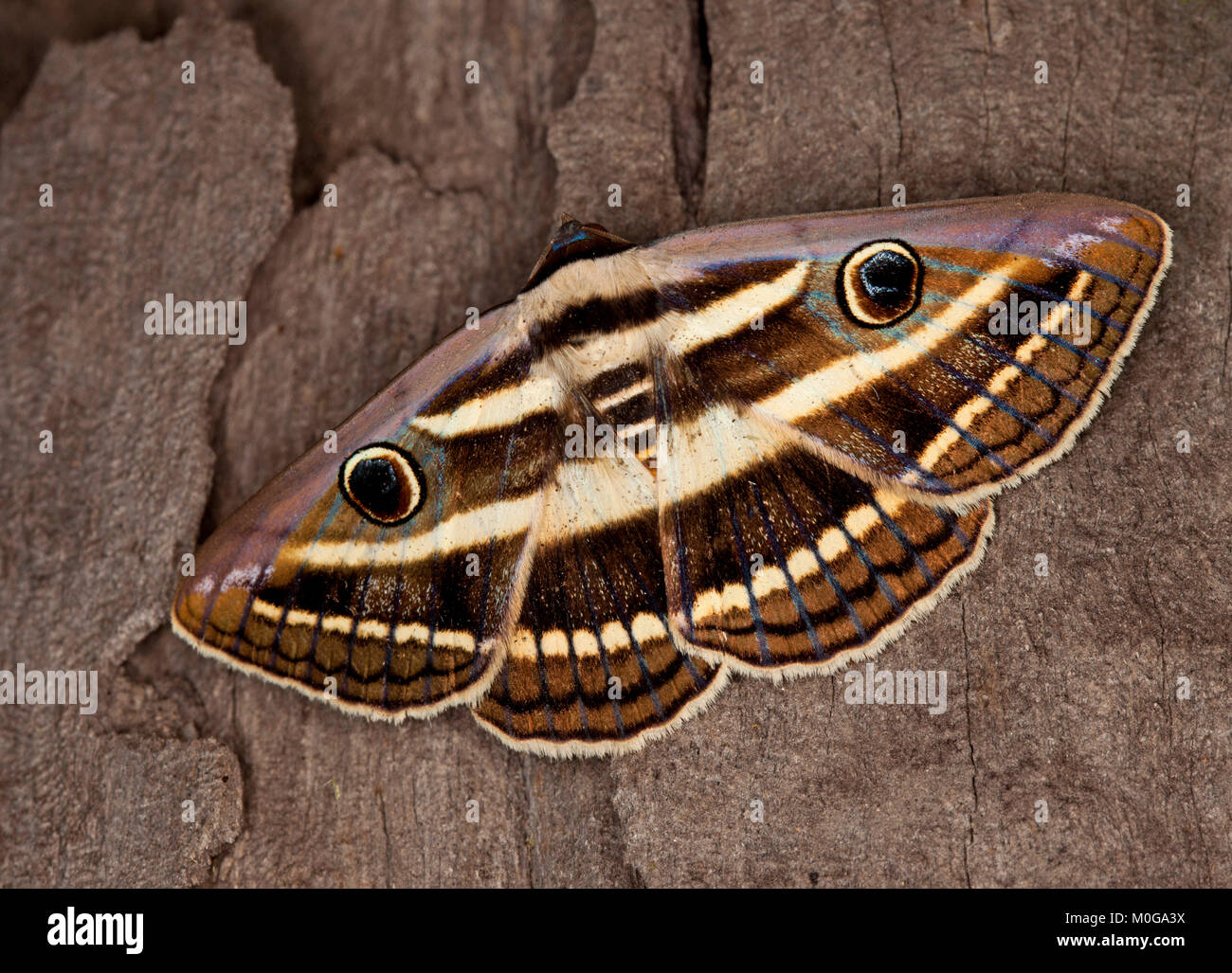 Australian white banded noctuid moth, Donuca orbigera, with wings camouflaged with 'eyes' and 'teeth', - Stock Image
