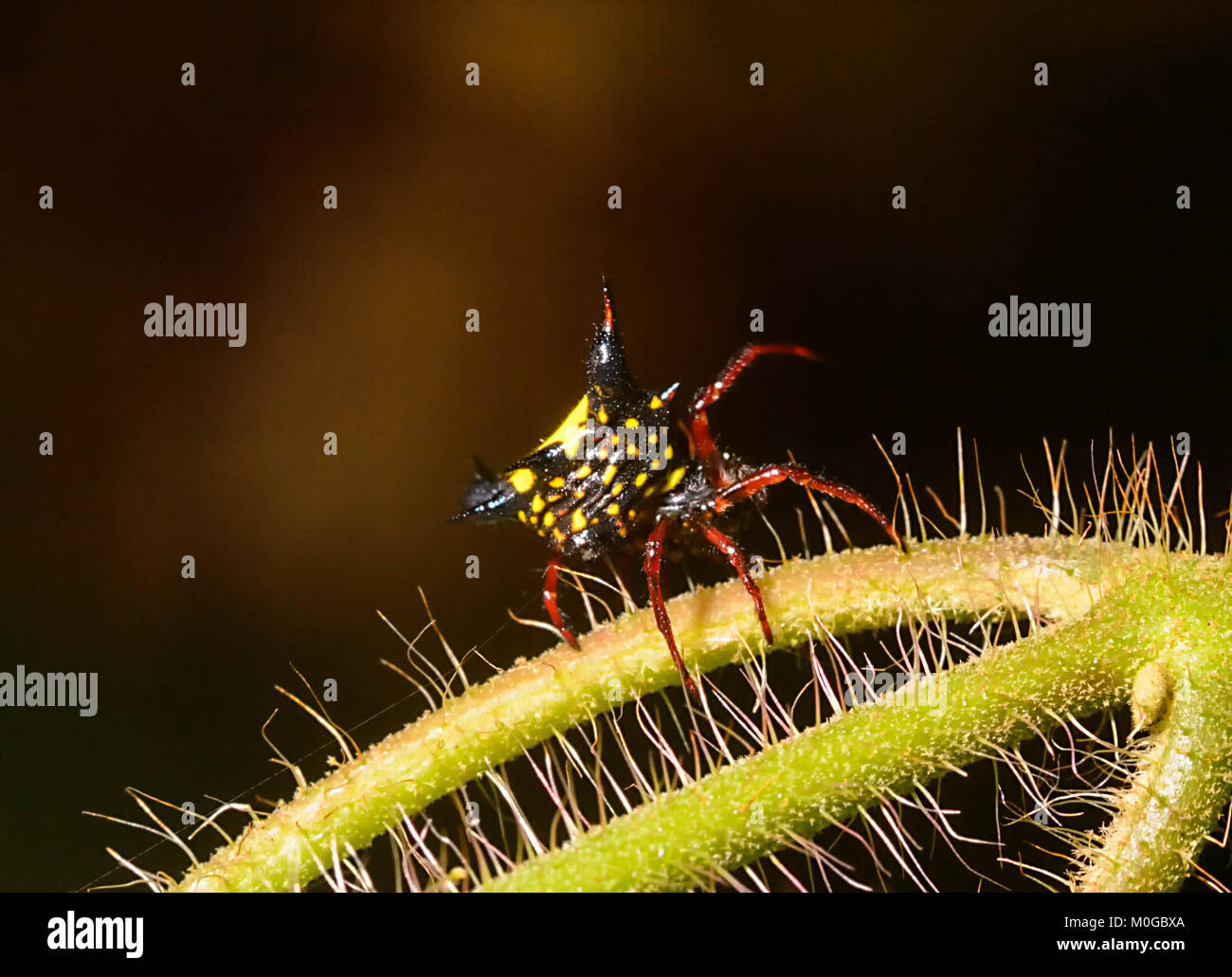 Bulbous-spine Gasteracantha (Gasteracantha crucigera), Danum Valley Conservation Area, Borneo, Sabah, Malaysia - Stock Image