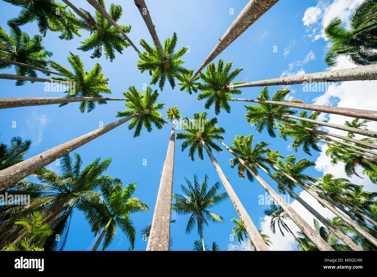 Avenue of tall royal palm trees soar into bright blue tropical sky in Rio de Janeiro, Brazil - Stock Image