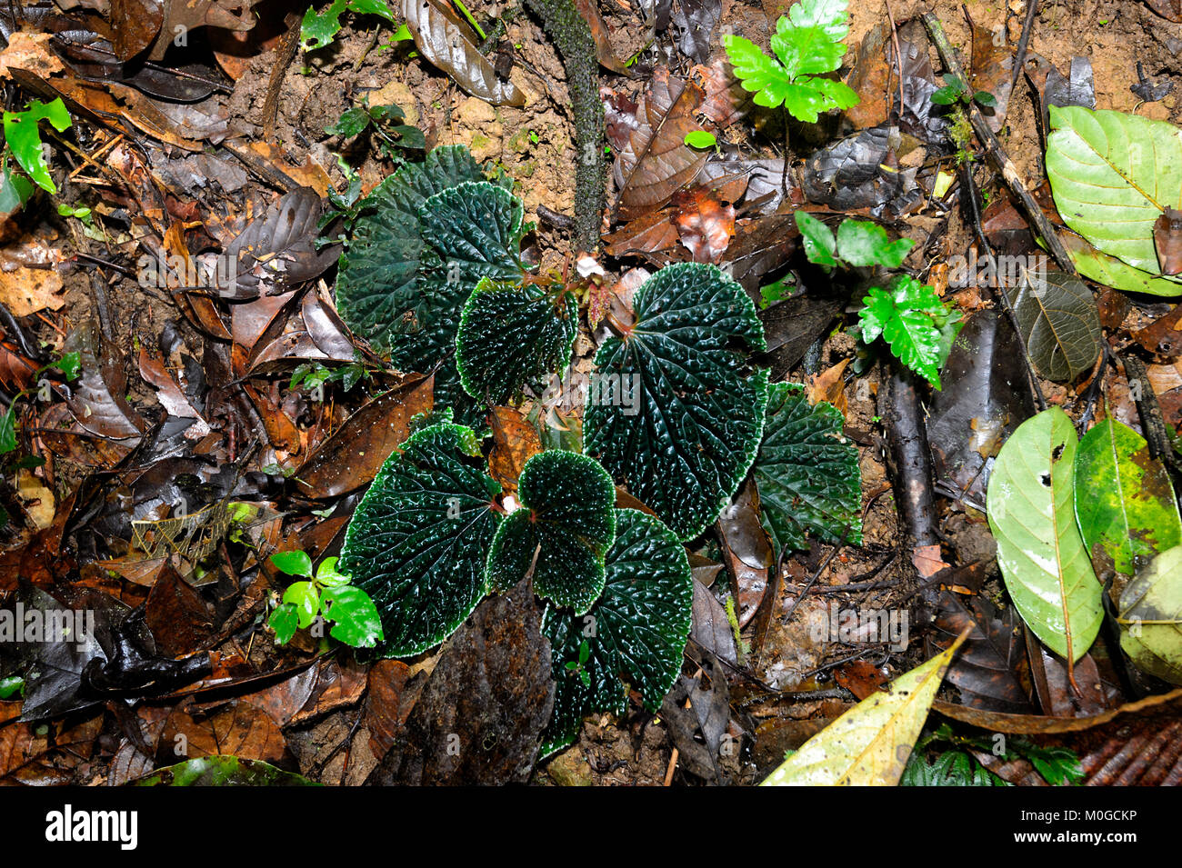 Wild Begonia (Begonia ruthiae) growing on the forest floor of primary rainforest, Danum Valley Conservation Area, - Stock Image