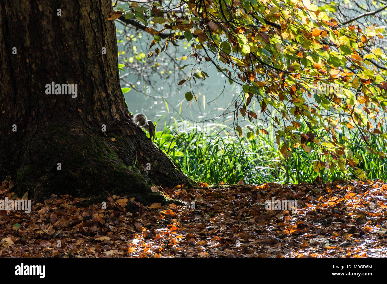 A grey squirrel (Sciurus carolinensis)scampering over the base of a tree in autumn - Stock Image