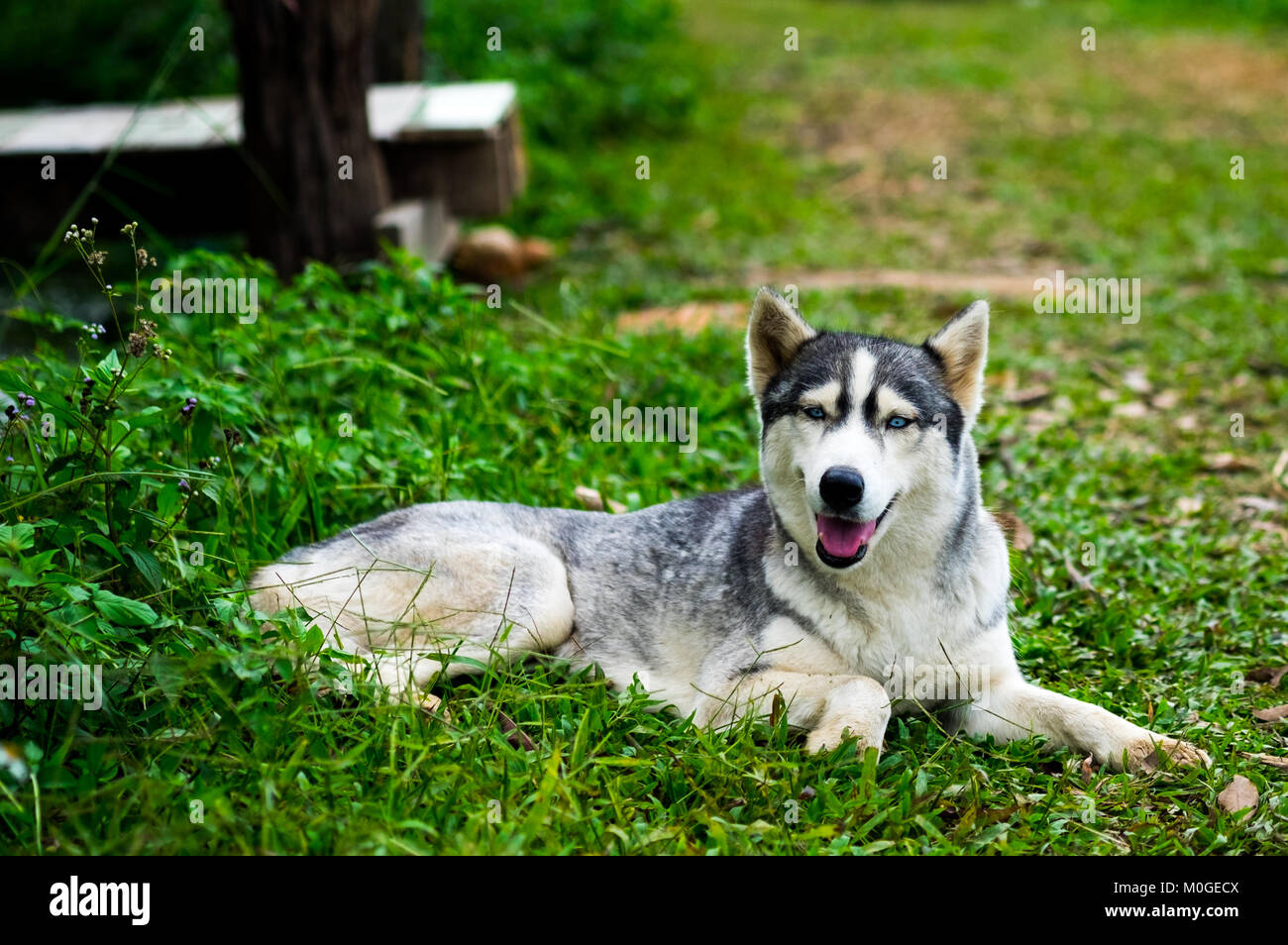 A little siberian husky sitting and take a look something with interest in the midst of nature, selective focus. - Stock Image