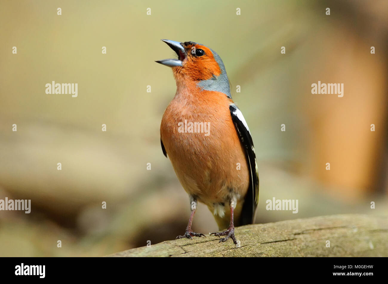 Chaffinch in the spring loudly sings, sitting on a fallen tree. - Stock Image