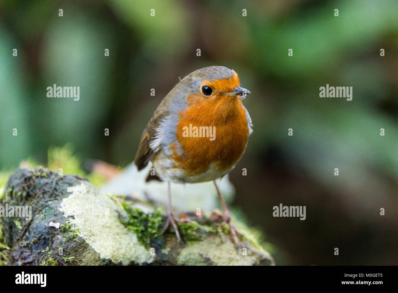 A robin (Erithacus rubecula) perched on a stone Stock Photo