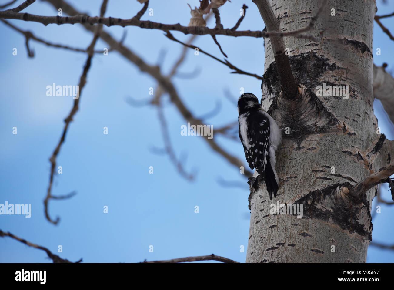 Downy Woodpecker (Dryobates pubescens) sitting in a tree, Inglewood Bird Sanctuary, Calgary, Alberta. Stock Photo