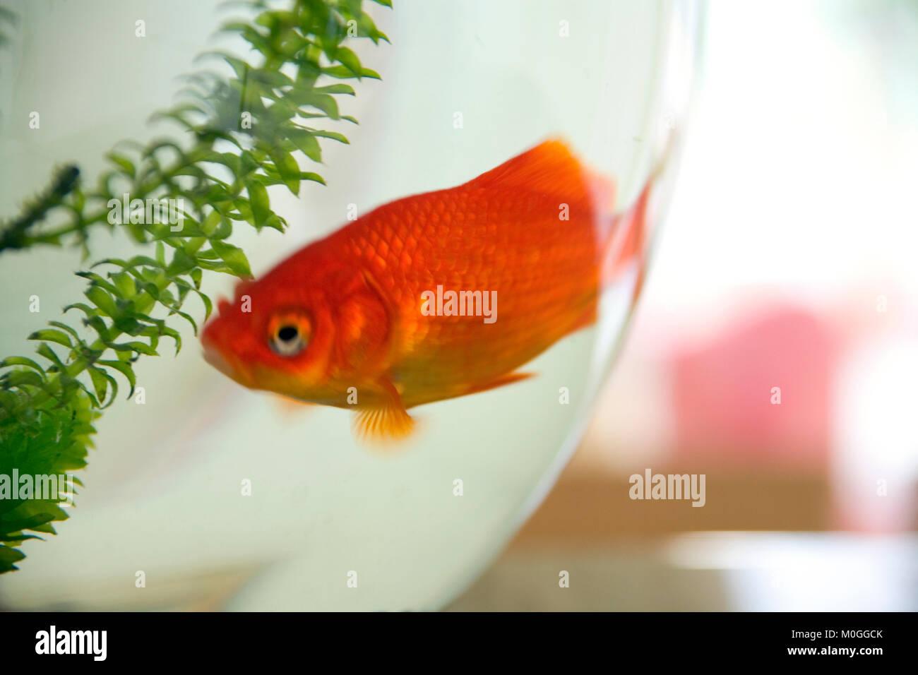 Goldfish Inside Fish Tank Stock Photos & Goldfish Inside Fish Tank ...