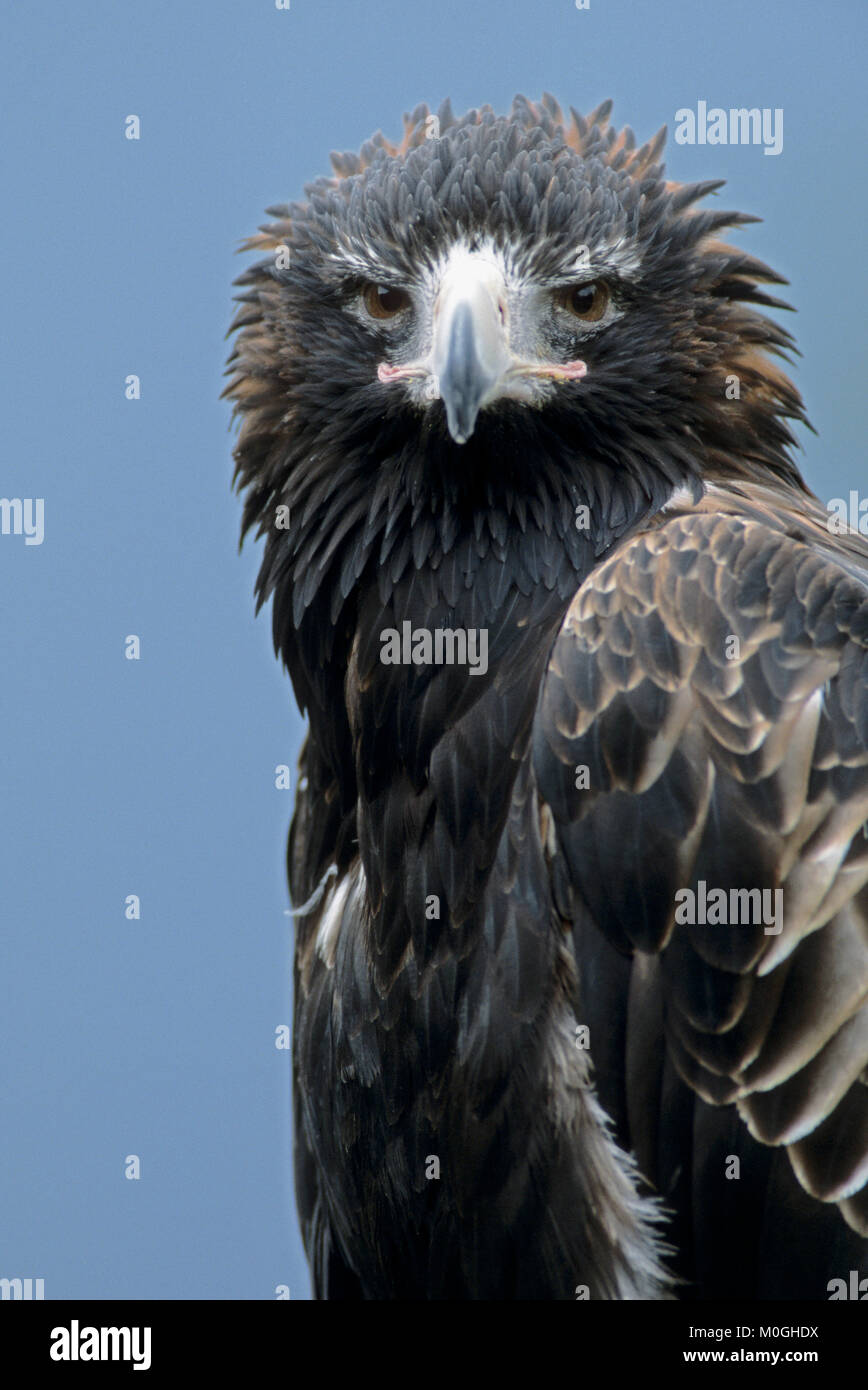 Wedge-tailed Eagle / (Aquila audax) | Keilschwanzadler / (Aquila audax) Stock Photo