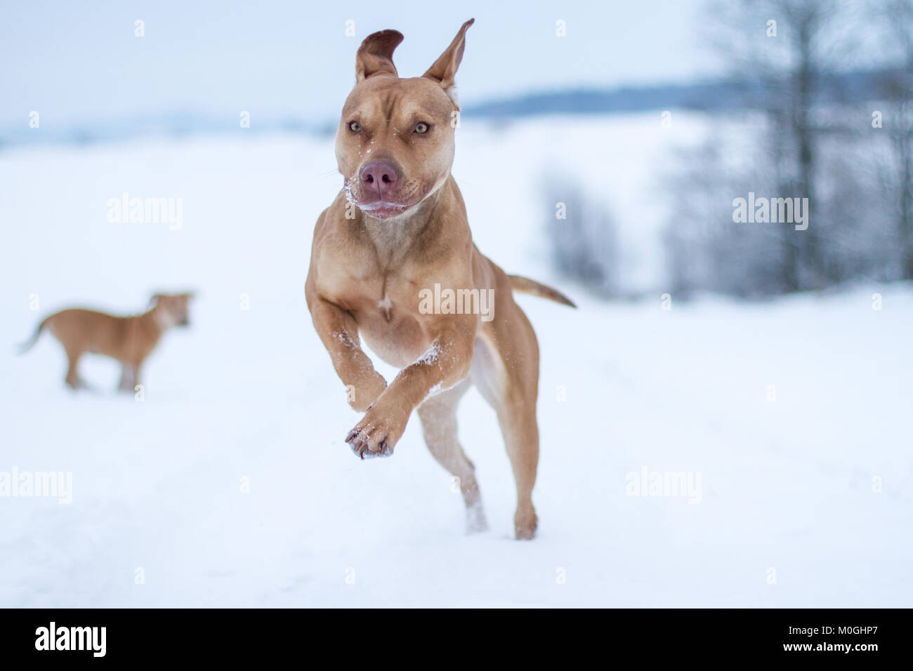 Working Pit Bulldog running in the snow - Stock Image