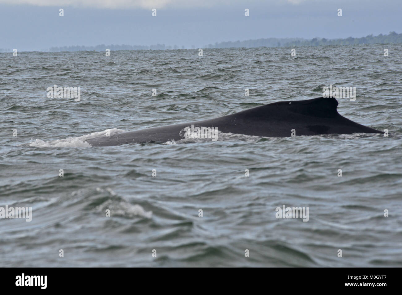 Cauca Valley, Colombia. 18th July, 2017. From July until October, hundreds of humpback whales congregate in the - Stock Image