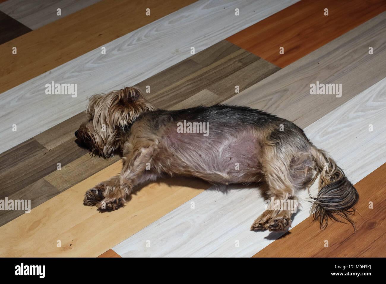 Small brown dog lies on a luxury interior wooden floor, image in landscape format with copy space - Stock Image
