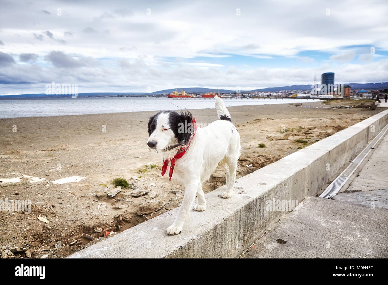 Unleashed dog walks on wall by a beach. - Stock Image