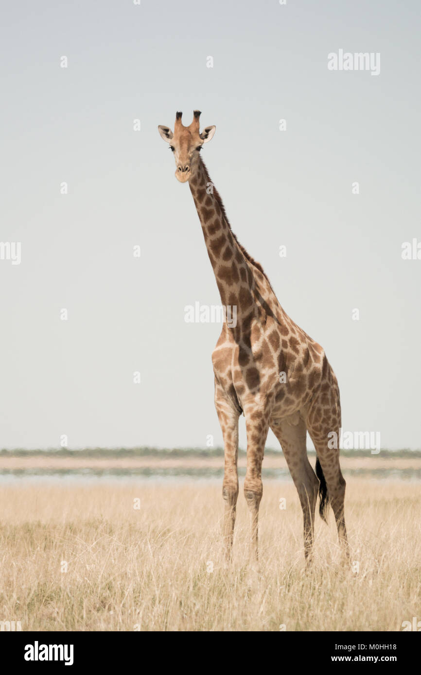 Single Giraffe looking at camera, standing alone in long dry grass - Stock Image