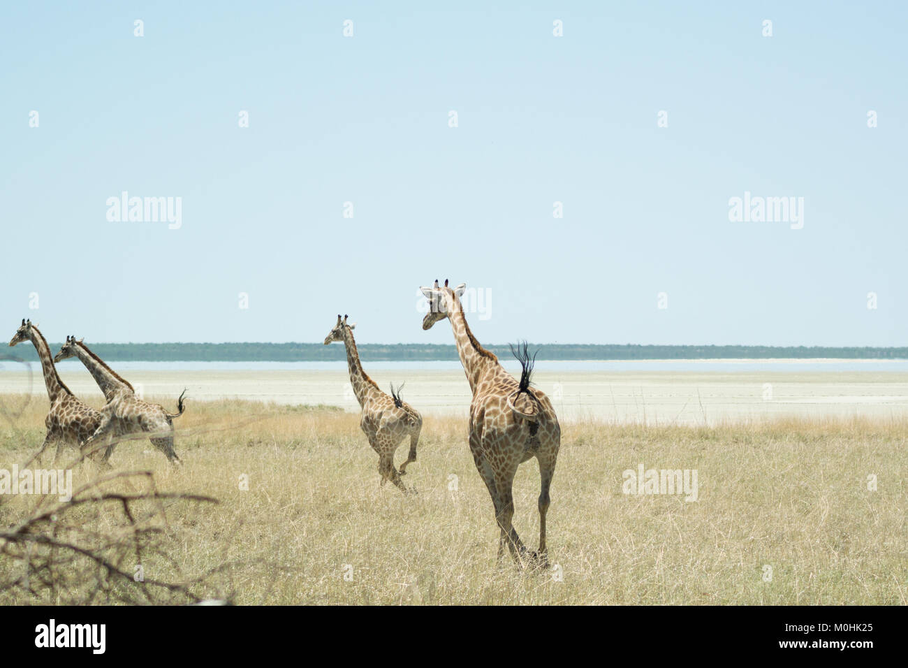 Small Herd of Galloping Giraffes - Stock Image