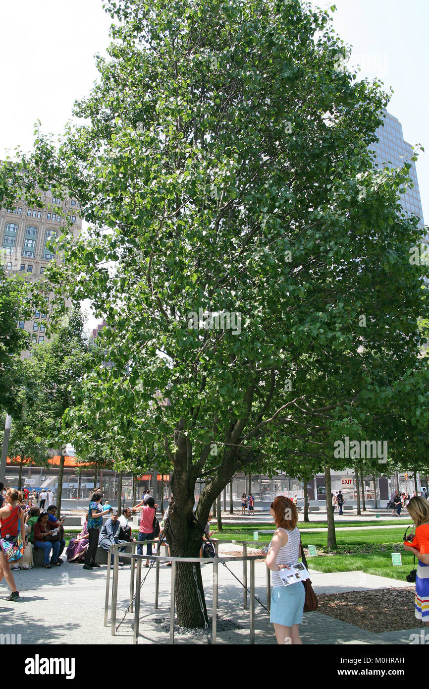The Callery Pear 'Survivor Tree', the only tree that survived 9/11, at the 9/11 Memorial and Museum Plaza, - Stock Image