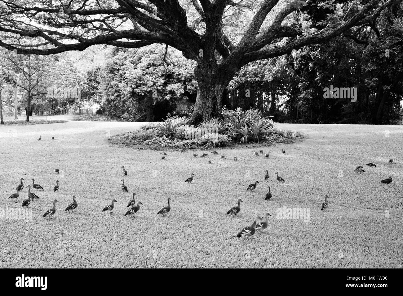 Flock of Plumed Whistling-Ducks (Dendrocygna eytoni) under a raintree, Anderson Park Botanic Gardens, Townsville, Stock Photo